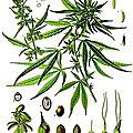 Phytothérapie - <b>Maladie</b> de <b>Crohn</b> et Cannabis