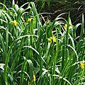 Iris aquatiques 2804165