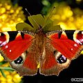 Evy°121:papillon