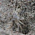 crabe des sables