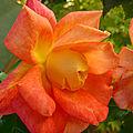 La Rose Joseph's <b>Coat</b>