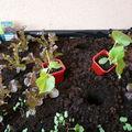 Un potager <b>BIO</b> sur mon balcon ... les plantations ! (2)