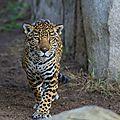 jaguareE21qfthy3o1_1280