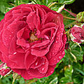 La rose <b>Elie</b> <b>Semoun</b>