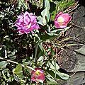 tulipes (4)