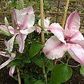clématite 'pink fantaisie'