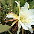 Epiphyllum ou cactus orchidée