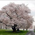 NATURE-Jardin-Fleur-USACerisier-03-
