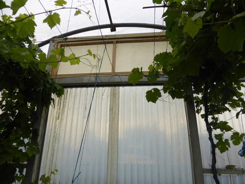 31-raisin, vignes (3)