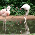 Les flamands roses