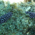 Nudibranches