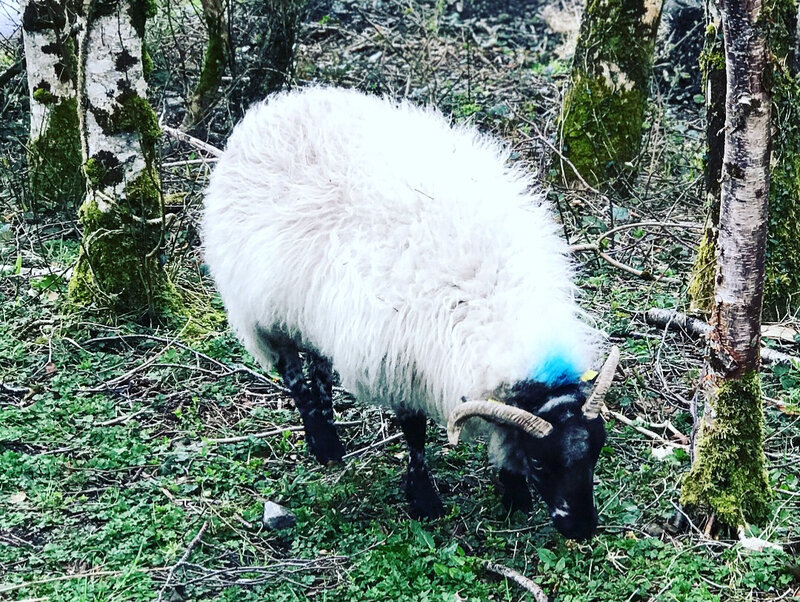 Mouton irlandais au parc national du Connemara ©Kid Friendly
