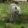 Les loups du parc de sainte-croix