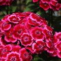 2009 06 07 Oeillet de poètes à grandes tiges en fleur sous serre