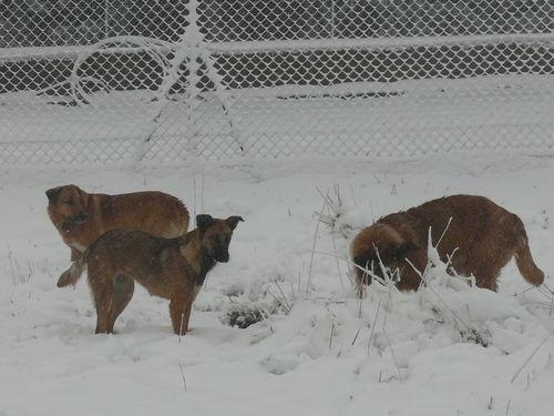2008 10 29 Les chien dans la neige