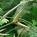 Les entraves sucrées de fourmis associées à des <b>acacias</b>