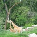 h-Repas des girafes