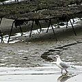 Oiseaux ile de re foto Mo2 (32)-h1500