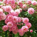 LES ROSE MONET GIVERNY