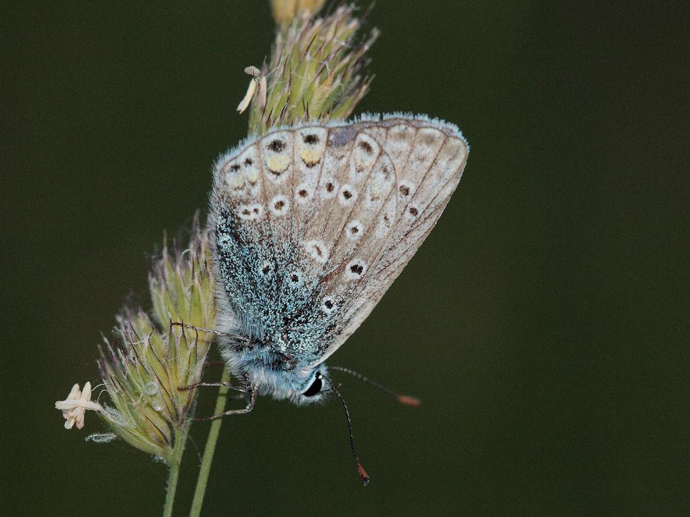 polyommatus_sp