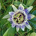 Fleur de l