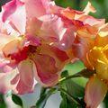 fleurs d'aout