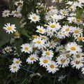 2009 08 03 Marguerites en fleurs