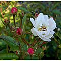 roses blan