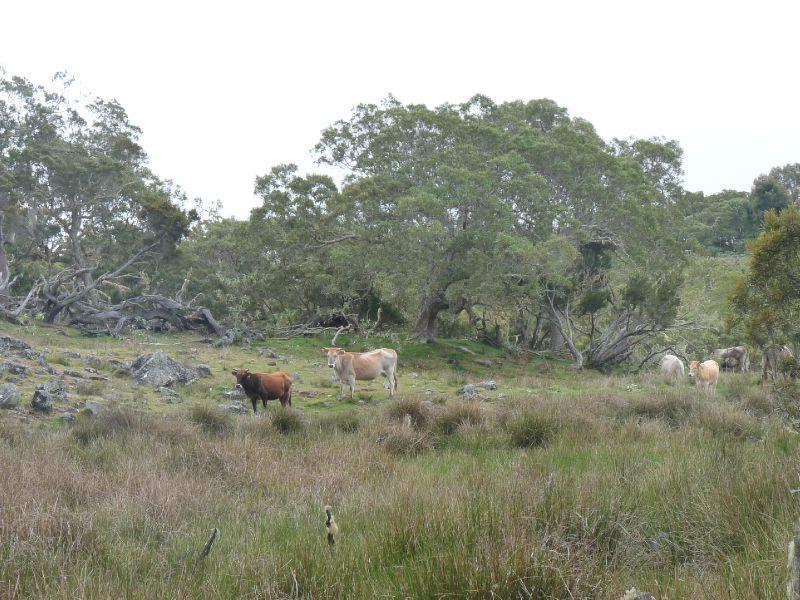vaches sur la plaine des tamarins