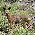 Chevreuil (brocard) observer en Forêt des Pays de Monts (85)