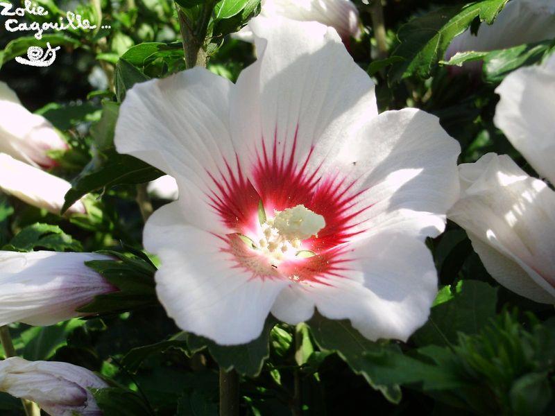 un hibiscus dans els cheveux