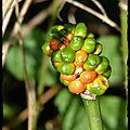 5 Gouet Arum maculatum