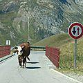 La vache qui connaissait le code de la route