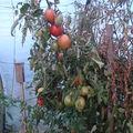 2008 09 01 Beaucoup de tomates coeur de Boeuf sous serre mais le Mildiou se fait de plus en plus présent