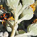 Deraeocoris schach • Famille des Miridae