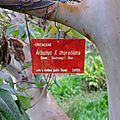 Arbutus x thuretiana <b>jardin</b> <b>botanique</b> de la Villa Thuret