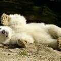 Knut, l'ourson polaire