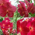 Florilège d'orchidées