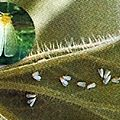 Les Aleurodes alias les Mouches blanches • F. Aleyrodidae