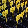 2009 05 06 Mes tournesols qui germent en godet sous serre dans du terreau