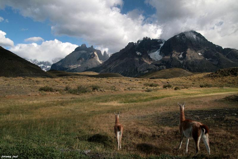 guanacos en el Paine