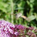 papillon_ 105
