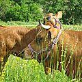 Vache et son veau Var 03 800x600