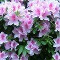 les fleurs de Miwako
