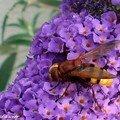 Volucella zonaria, diptère de la famille des Syrphidae