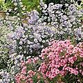 ASTER FLORA'S DELIGHT