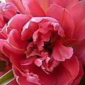 Tulipes mars 2012 (10)