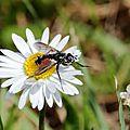 eriothrix_rufomaculatus