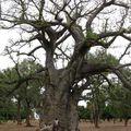 Mariam et un gros Baobab près de Banfora