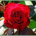 Rose rouge 160515